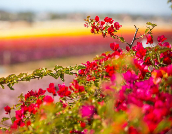 Flower Fields at Carlsbad Ranch: Unique Setting for Your Event